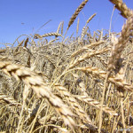 На отгрузке зерна задействован транспорт организаций Сенно