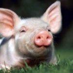 Правительство гарантирует населению компенсацию потерь в связи с забоем свиней из-за АЧС