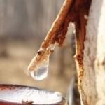 Лесничества Сенненшчыны планируют заготовить около 300 тонн березового сока, сообщили в ГЛХУ «Богушевский лесхоз».