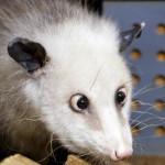 Косоглазая самка опоссума стала найпопурярнішою зверушкой Германии