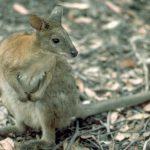 Отзывчивый австралиец спас утопающий кенгуренка