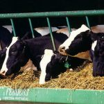 Израильские коровы «отправляют» SMS и e-mail своим хозяевам