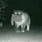 Камера зафиксировала ночные вылазки кота-клептомана. ВИДЕО