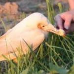В Петербурге заметили белого ворона