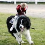 Обезьяны оседлали собак под руководством чемпиона по родео