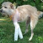 Искалеченный торнадо пес вернулся домой через 20 дней