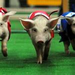 В Бразилии ежегодно устраивают свиные гонки