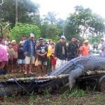 Крупнейшего в мире крокодила решили оставить в неволе