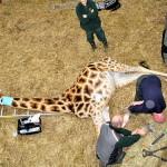 В Британии жирафе сделали «педикюр» кусачками и напильником