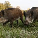 На Волыни крестьяне страдают от диких кабанов, которых развели охотники