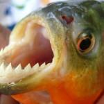 В водохранилище на Львовщине выловили 10-сантиметровых пираний