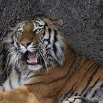 Малайском тигрицы Девочке поставили искусственный сустав