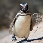 Пингвина взяли в салон самолета, чтобы он не скучал в багажном отсеке